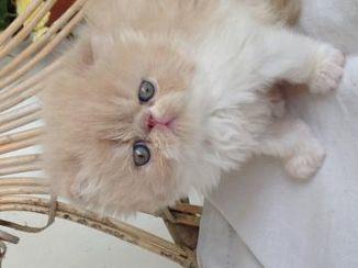 Cuccioli Di Gatto Persiano In Regalo.Persiano Gatti Piemonte Annunci Animali